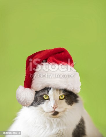 A giant white and gray cat wearing a Santa Hat and looking at the camera.