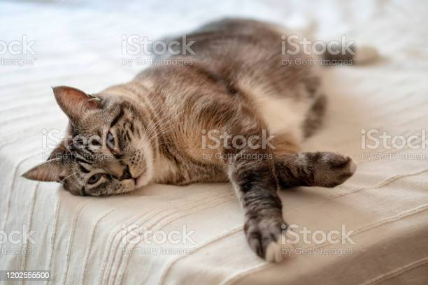 Fat cat laying on the bed picture id1202555500?b=1&k=6&m=1202555500&s=612x612&h=s1murcz5ckhqdy7g5r7fp5bb85d1xezjnftzjwgl ui=