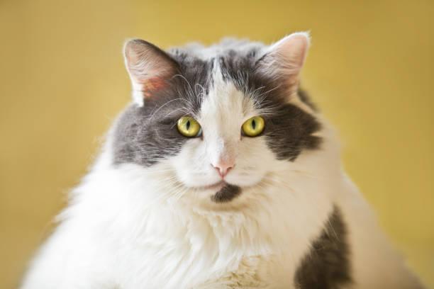 Fat cat picture id676008424?b=1&k=6&m=676008424&s=612x612&w=0&h=r3r29zjejvymniyzlttv0mr3ibulz7qqjtjmxpqley8=