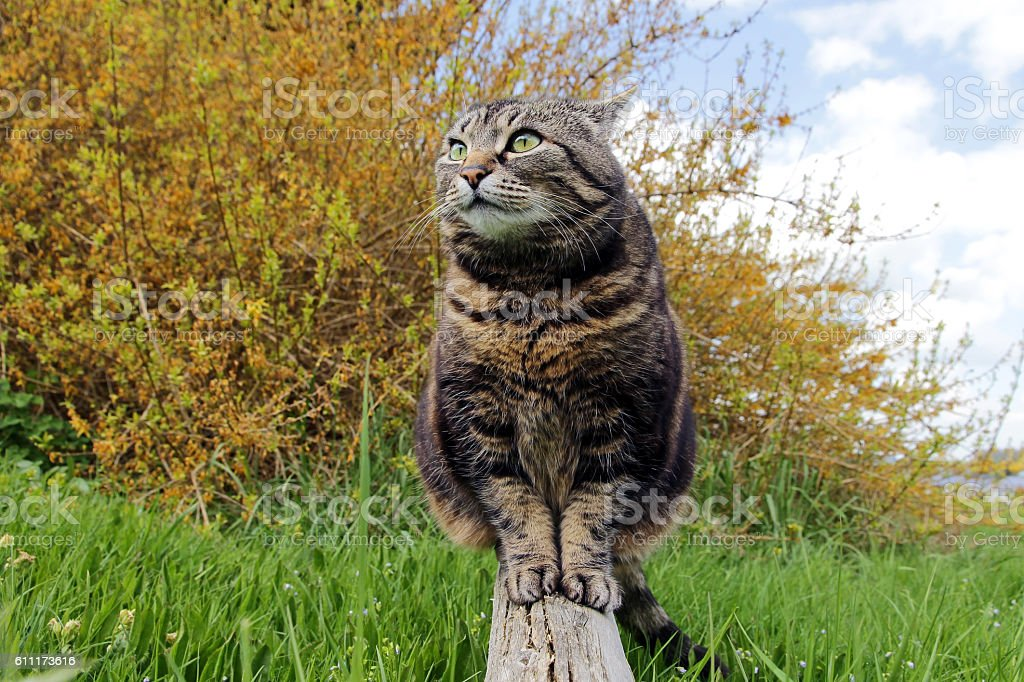 fat cat sitting on a wooden beam in the garden stock photo