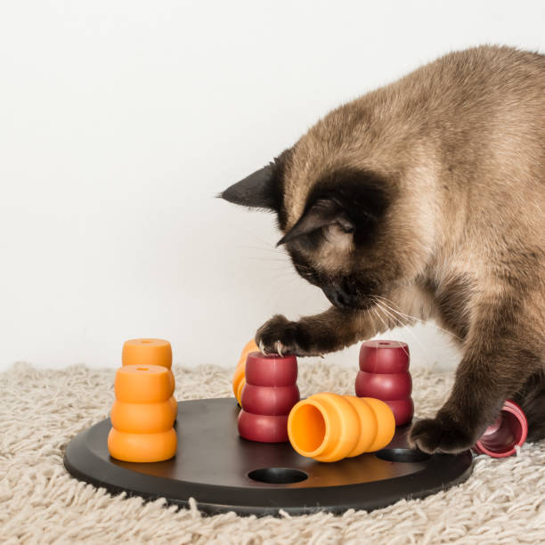 Fat cat solving pet puzzle. Clever siamese cat solving pet puzzle to get to the treats - square. animal tricks stock pictures, royalty-free photos & images