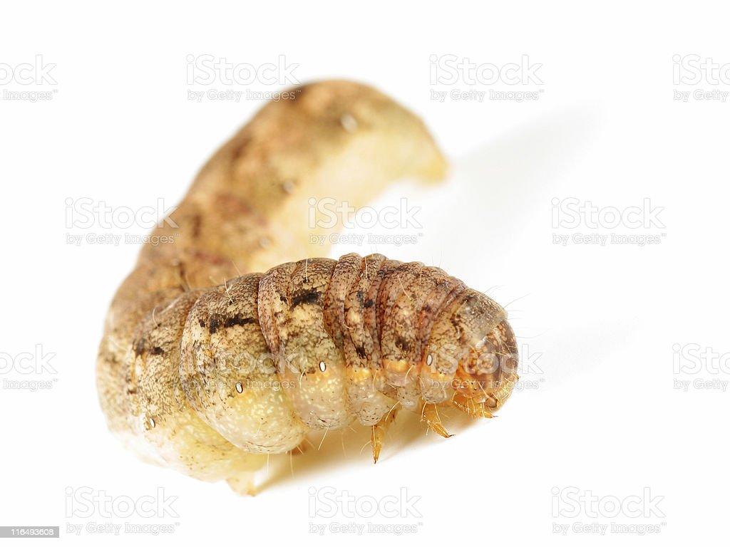 Fat caterpillar stock photo