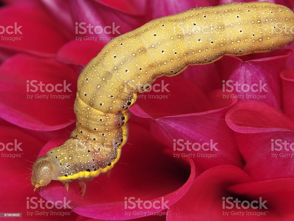 Fat caterpillar royalty-free stock photo