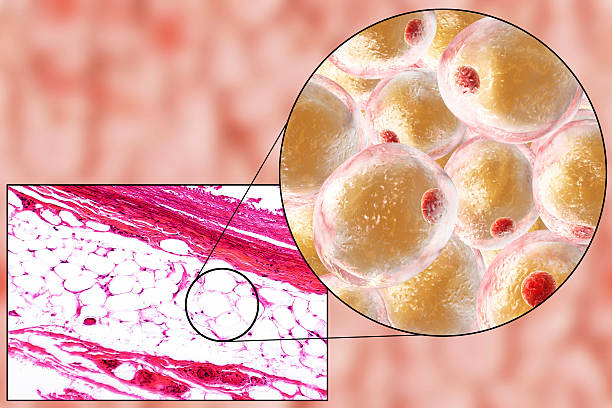 Fat cells, micrograph and 3D illustration stock photo