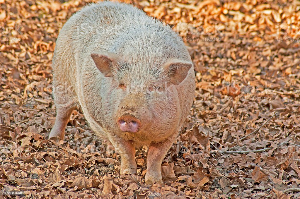 Fat, dirty, white pig facing the camera. stock photo