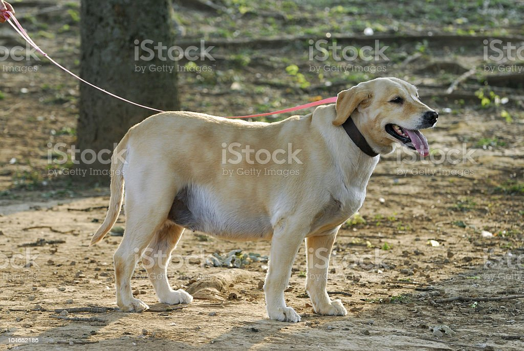 Fat Dog and Hot Weather royalty-free stock photo