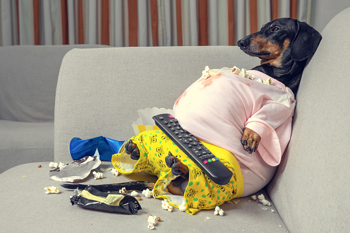 Dachsaund sitting on the couch with clothes on and popcorn treat and tv remote on lap
