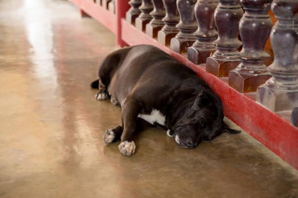 vette hond die op de stoep ligt - dog looking at floor path stockfoto's en -beelden