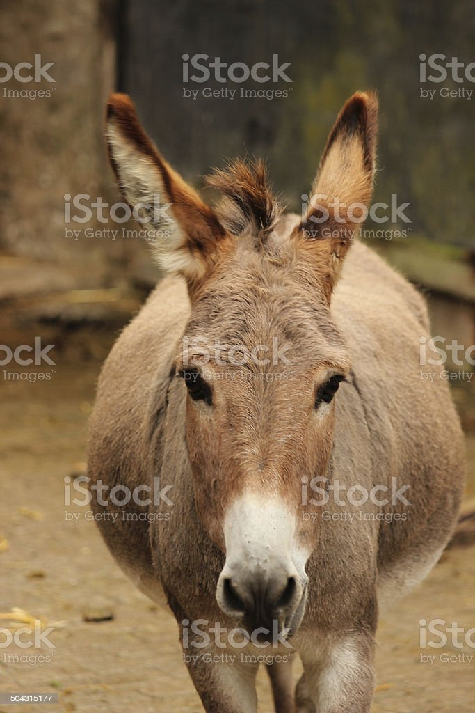 fat donkey stock photo more pictures of animal istock