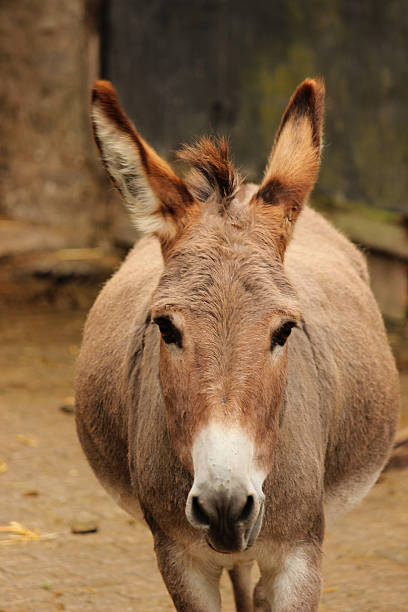 royalty free fat donkey pictures images and stock photos istock