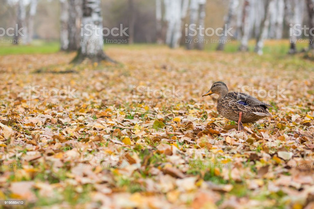 fat duck walks along fallen leaves in the autumn in the park stock photo