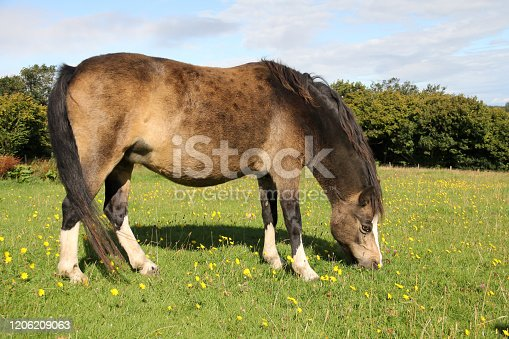 istock Fat dun coloured pony munchig on lush green grass on summers day. 1206209063