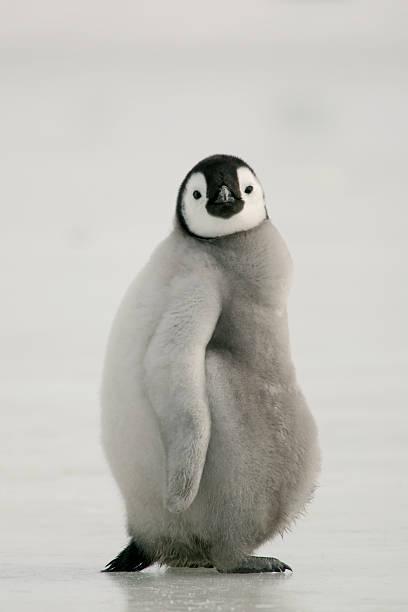 Fat Emperor Penguin Chick stock photo