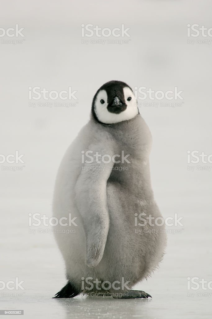 Fat Emperor Penguin Chick stock photo