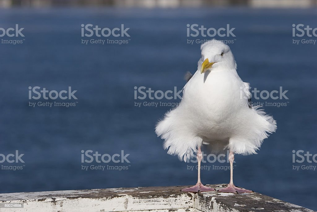 Fat Feathered Seagull stock photo