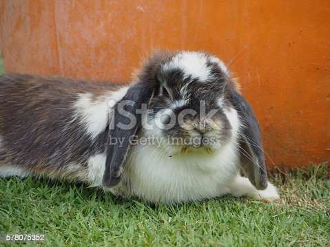 925481382 istock photo Fat fluffy rabbit 578075352