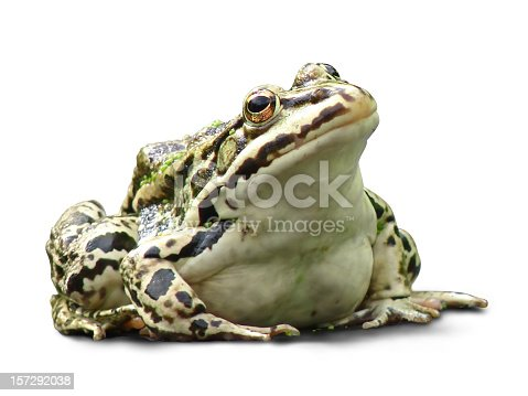royalty free stock photo of a fat frog isolated on white background