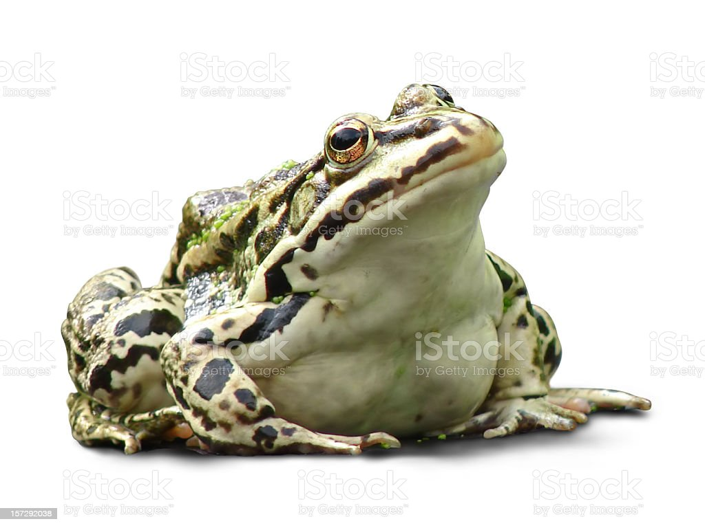 fat frog isolated on white background stock photo