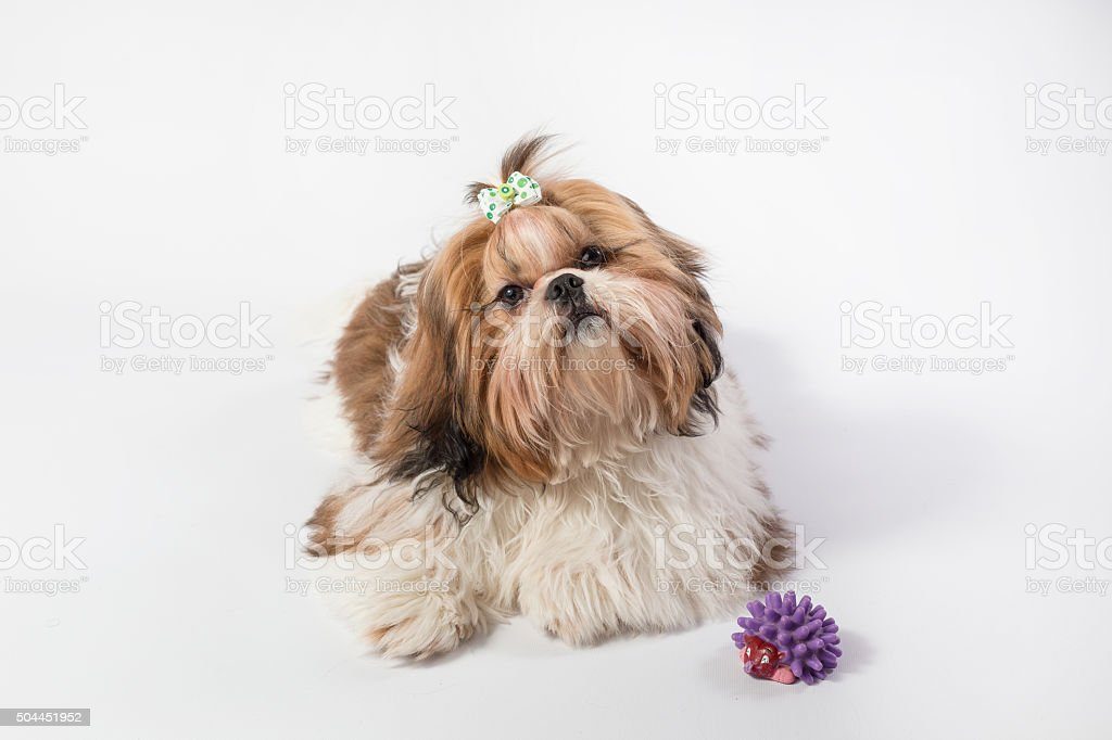 Fat Funny Fluffy Shihtzu Puppy Stock Photo Download Image Now Istock