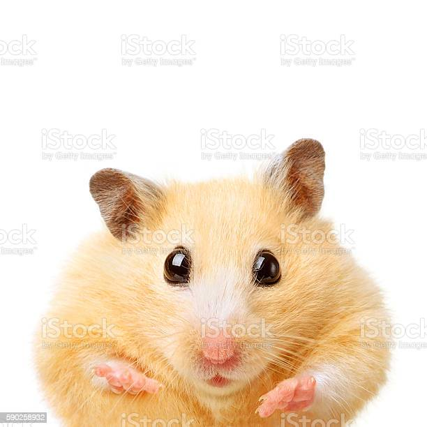Fat funny hamster picture id590258932?b=1&k=6&m=590258932&s=612x612&h=1l0kmp4mccalh23mwsgv1xehm3dqvpgqxzc7iyi6ugs=