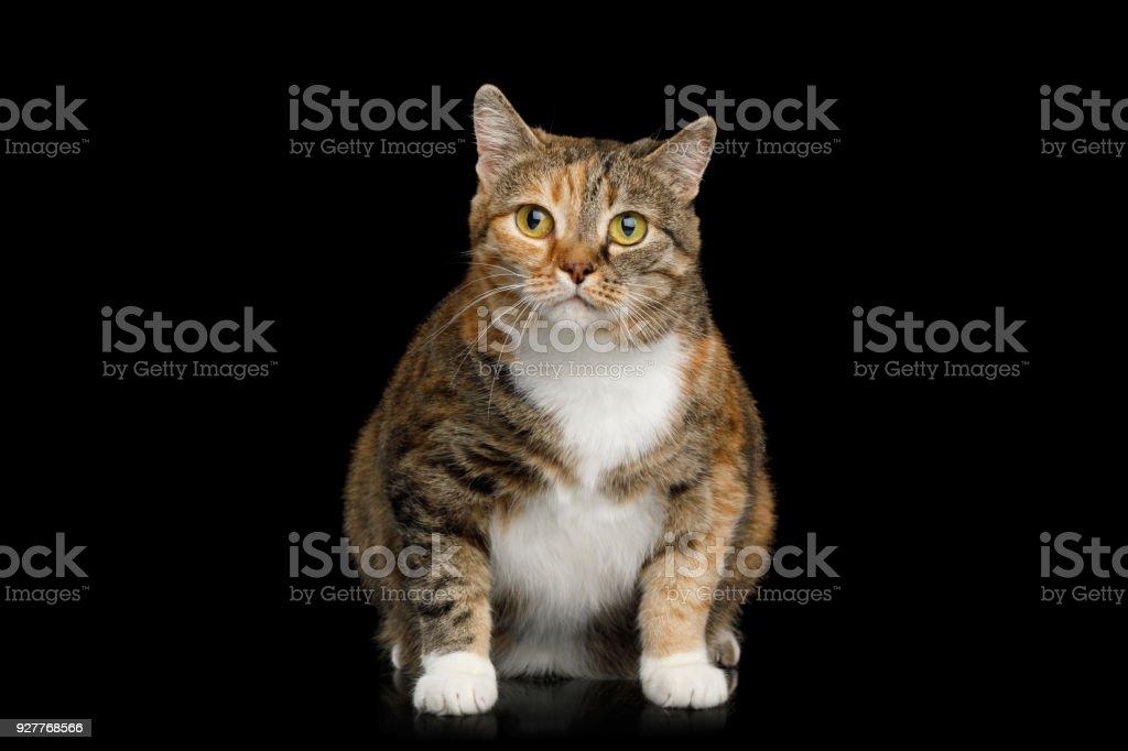 Gato gordo Ginger Calico em fundo preto isolado - foto de acervo