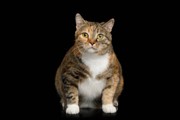 Fat Ginger Calico Cat on Isolated Black Background stock photo