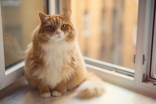 Fat ginger cat picture id598677252?b=1&k=6&m=598677252&s=612x612&w=0&h=i3d3ipab7nbrpm axxga pvs0k0l4tw90xnzjnkcefm=