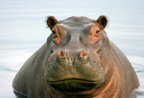 The common hippopotamus (Hippopotamus amphibius), or hippo lying in water