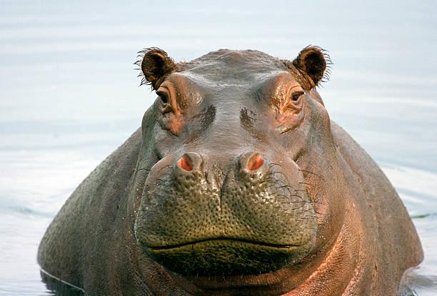 Fat Hippo stock photo