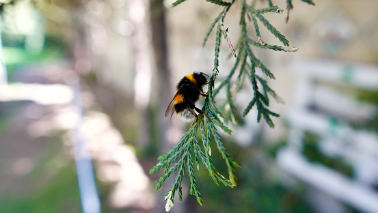 Honey bee on tree branch.