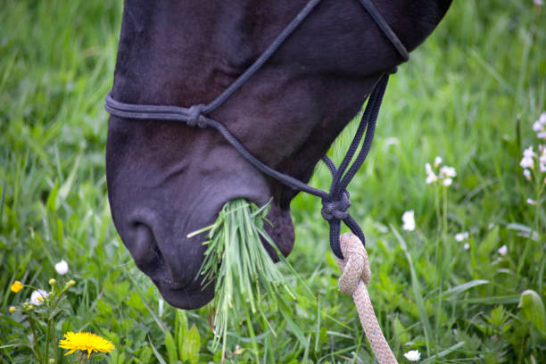 Fat Horse on meadow eat to much grass stock photo
