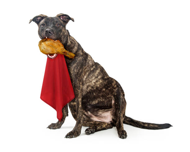 Fat Hungry Dog Eating Turkey Leg Funny photo of dog eating a turkey leg while wearing a red napkin on neck with fat, extended belly exposed thanksgiving pets stock pictures, royalty-free photos & images
