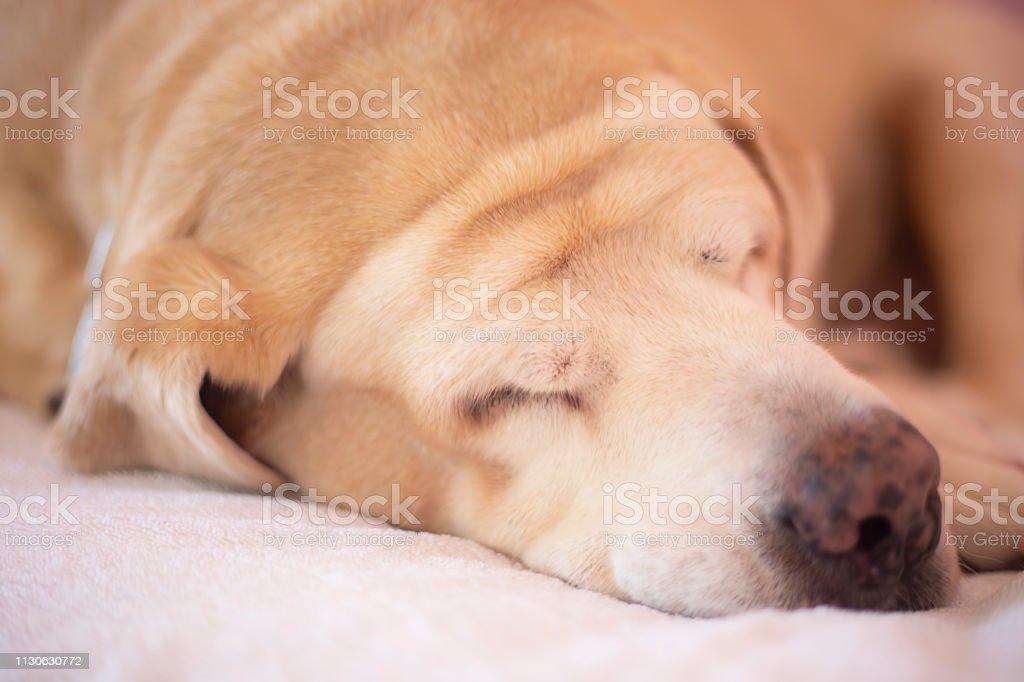 Grasa Labrador Retriever 14 años dormir en tono cojín naranja. - foto de stock