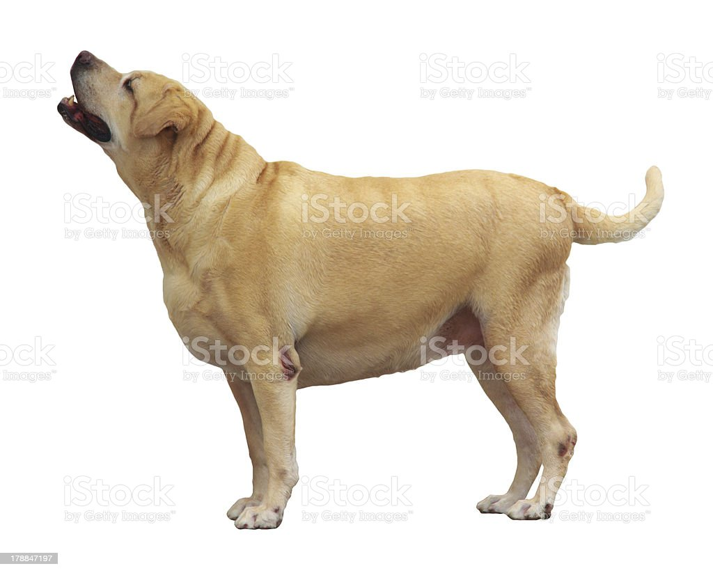 Fat Labrador Retriever, 7 years old, stand on white background royalty-free stock photo