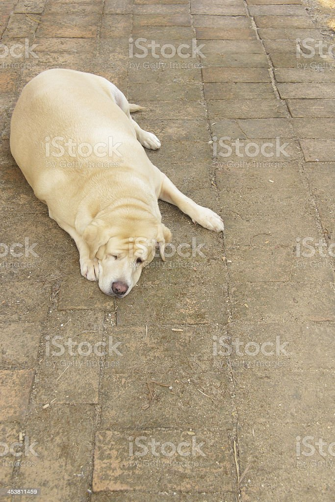 Fat labrador retriever royalty-free stock photo