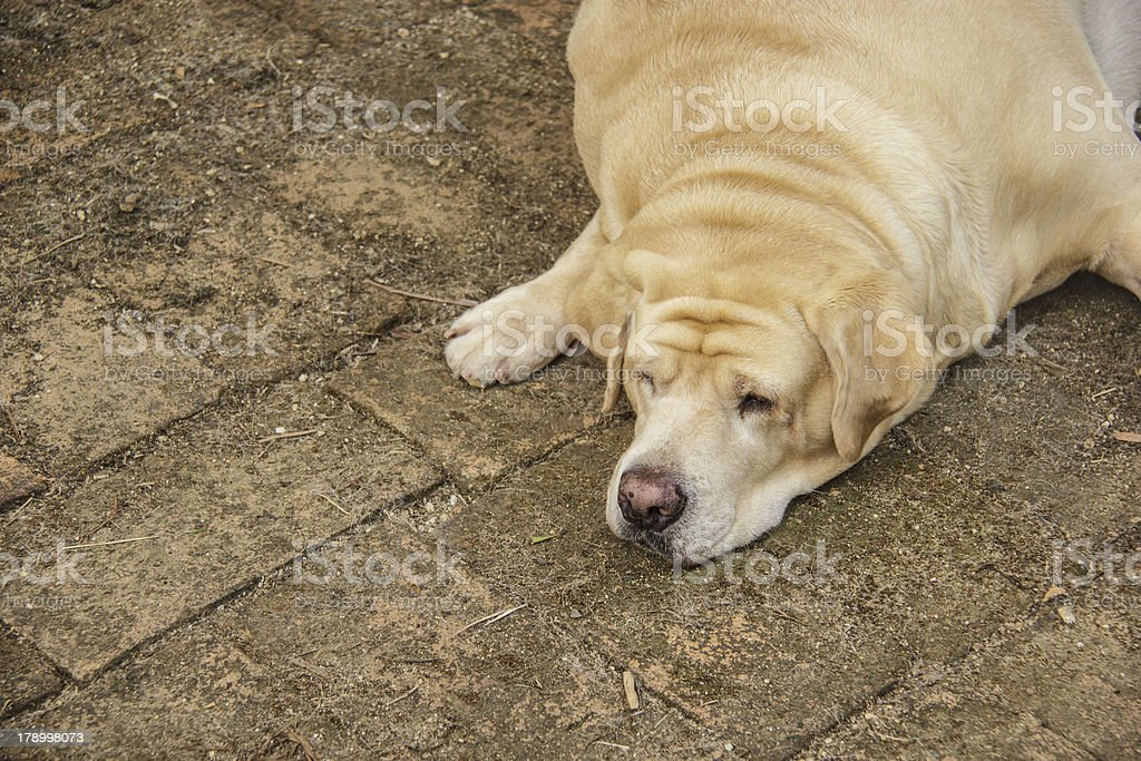Fat labrador retriever sleep on the floor royalty-free stock photo