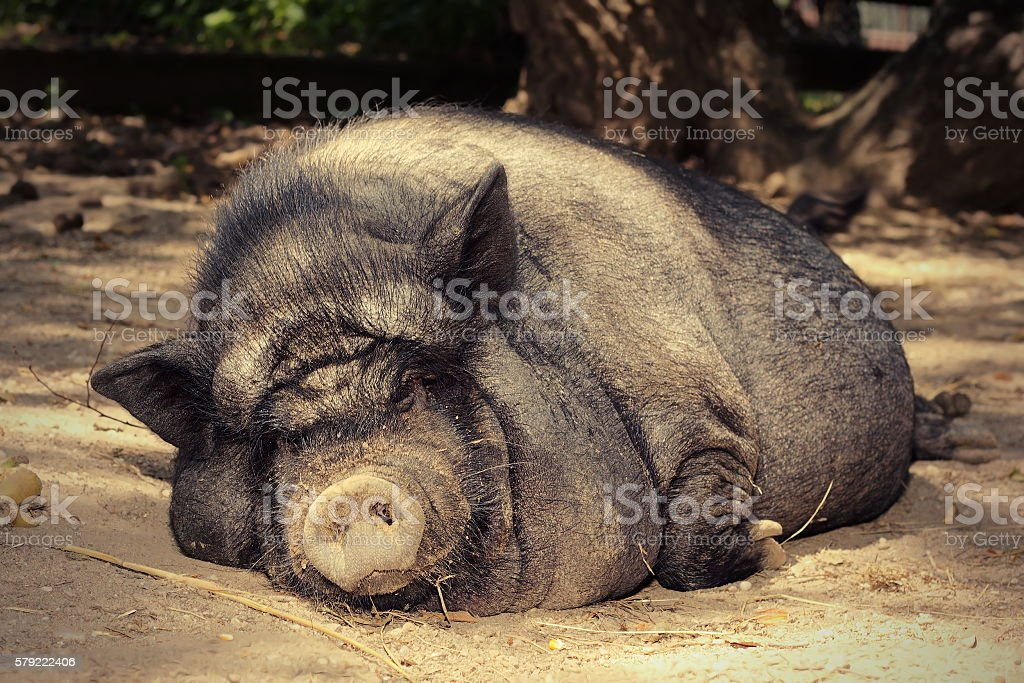 fat lazy pig stock photo