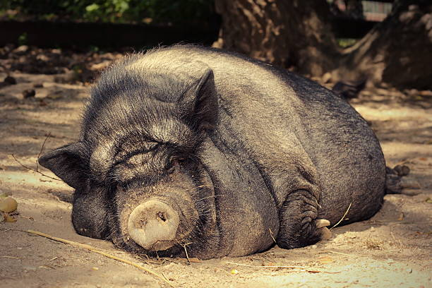 fat lazy pig stock photo