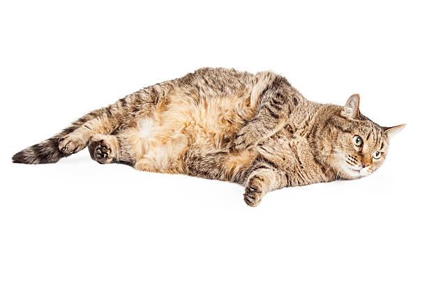 Fat mixed breed tabby cat laying picture id464852786?b=1&k=6&m=464852786&s=612x612&w=0&h=iuq mufhlppiacrnuqhuzcsxbrzh92f cka3qz6hkh8=