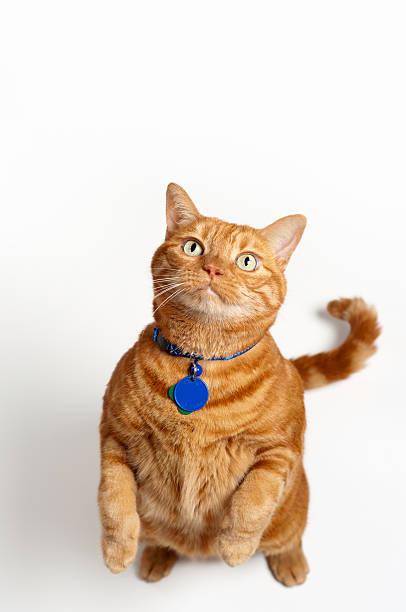 Fat orange cat standing up and begging picture id177306525?b=1&k=6&m=177306525&s=612x612&w=0&h=je7978epcgh dqlwbjcin06tkf12 l3pvpczjy833se=