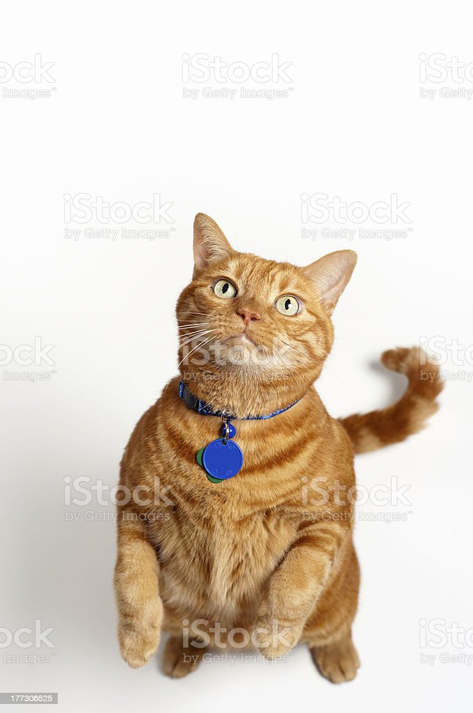 Fat Orange Cat Standing Up And Begging stock photo