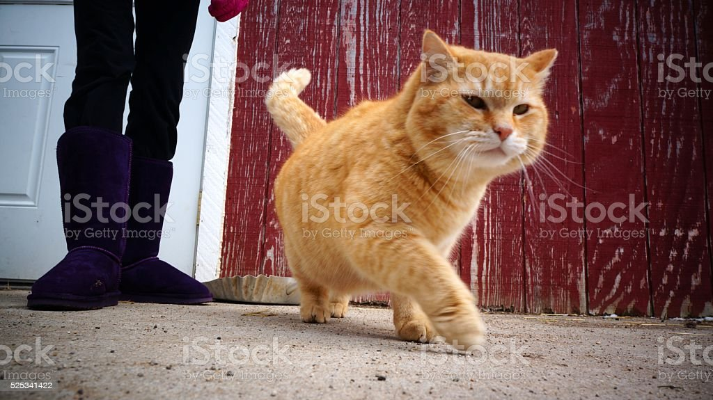 Fat Orange Cat Walking stock photo