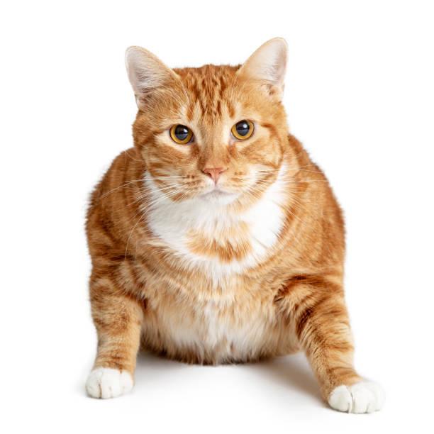 Fat orange tabby cat picture id1127456682?b=1&k=6&m=1127456682&s=612x612&w=0&h=tlfmjznqpm1 f0rbdx5fwyercvpxeyd9fszyz14g1u4=