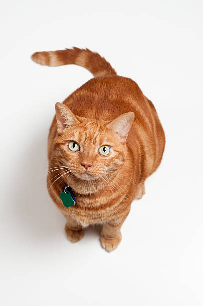 Fat orange tabby cat sitting and looking up picture id177293905?b=1&k=6&m=177293905&s=612x612&w=0&h=f1z6 ke3m0ub6h07wjxzuconhstagigep9fldiu4hs0=