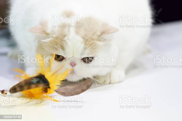 Fat persian white short hair stares at feather cat toy picture id1055975748?b=1&k=6&m=1055975748&s=612x612&h=ps7ofbkaexeh1z0yddr8yn74pc13k thue9yoythem4=