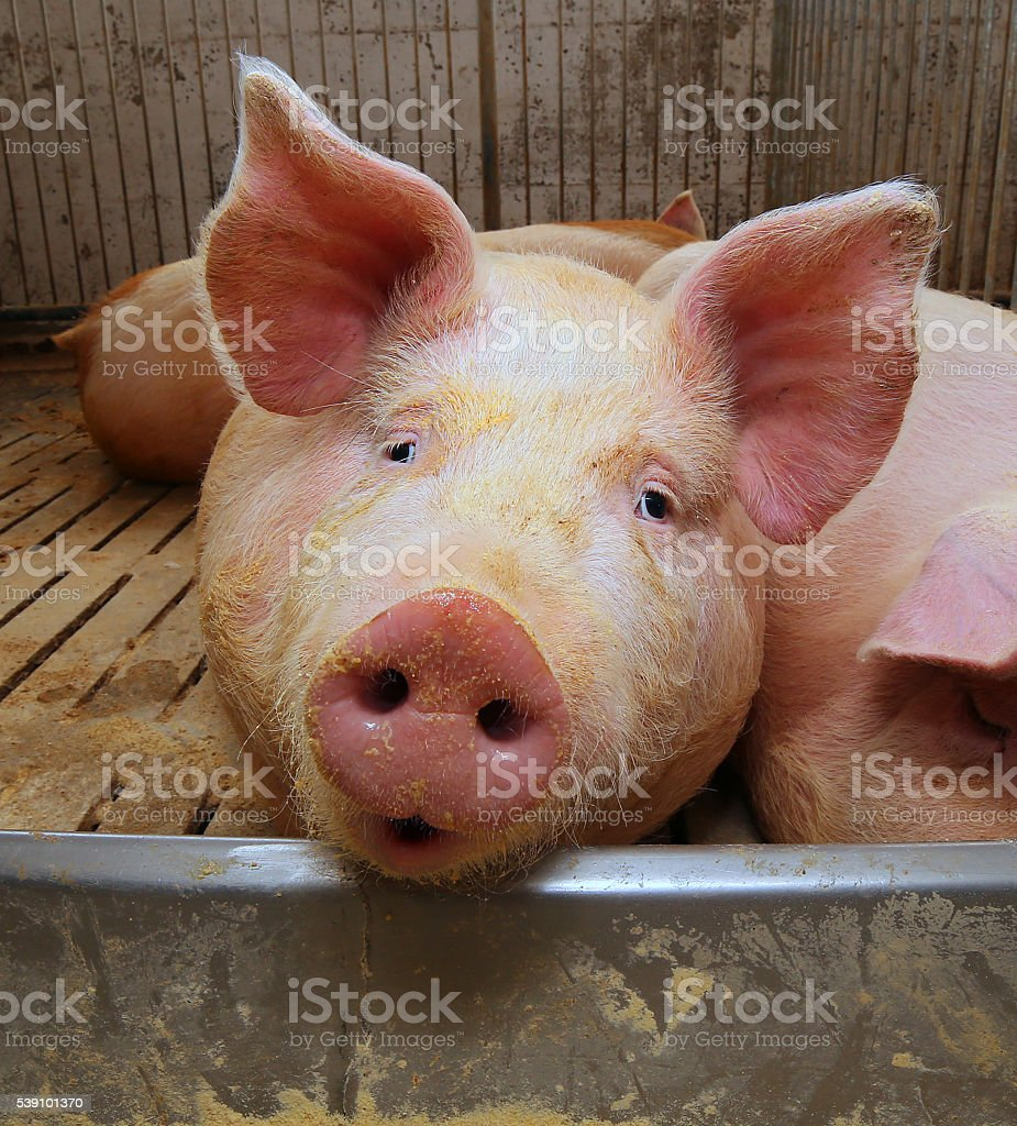 fat pigs in a sty on a farm stock photo