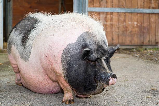 fat pink und schwarz hängebauchschwein - pig ugly stock-fotos und bilder