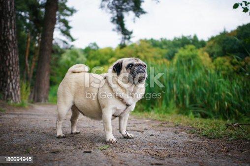 Little fat pug walking in summer park
