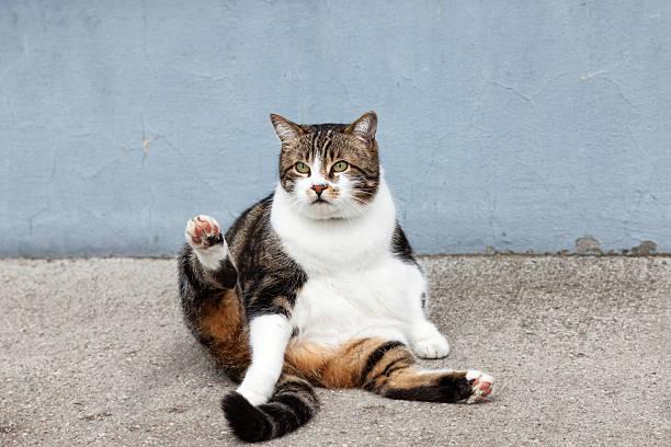 Fat street cat picture id592646048?b=1&k=6&m=592646048&s=612x612&w=0&h=mfutiiznskmeef8z ohx ga4go6kg22vguv5ggtxf4g=