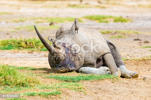 White rhinoceros at Lake Nakuru National Park in Kenya - double horns